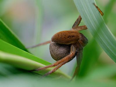bagnik nadwodny | great raft spider | dolomedes plantarius
