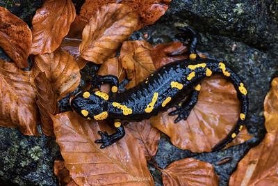 Salamandra w brązach bukowych liści