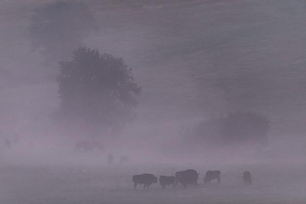 Chmara żubrów (Bison bonasus) żerująca na łące Bieszczady ©Mateusz Matysiak
