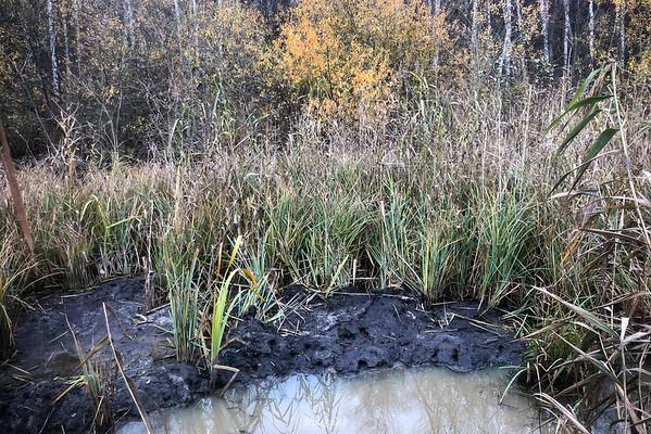 Bóbr (Castor fiber) Świeże ślady odmulania przez bobry kanału nawadniającego bobrowisko Dolina Pisi Gągoliny ©Mateusz Matysiak