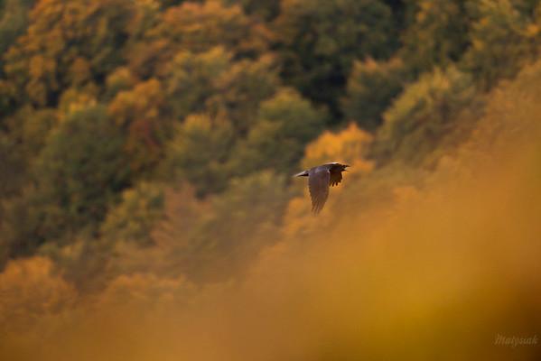 Kruk (Corvus corax) sygnalizujący stado o intruzie zbliżającym się do ofiary wilków Bieszczady ©Mateusz Matysiak