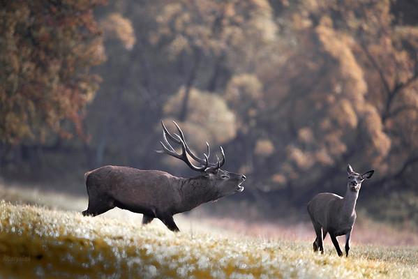 Samiec (byk) jelenia szlachetnego (Cervus elaphus) podczas rykowiska w zalotach do gonnej łani Bieszczady ©Mateusz Matysiak