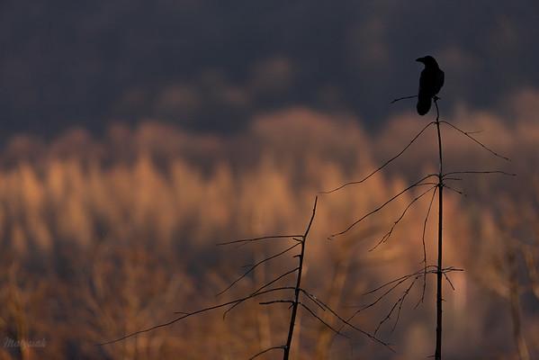 Kruk (Corvus corax) Bieszczady ©Mateusz Matysiak