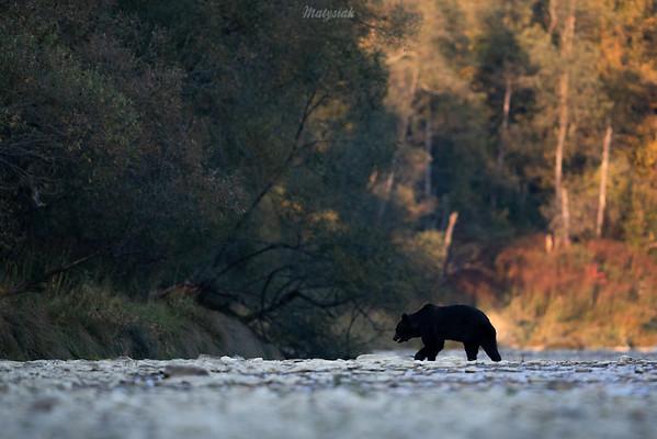 Duży niedźwiedź brunatny (Ursus arctos) przeprawiający się przez rzekę dolina Sanu, Bieszczady ©Mateusz Matysiak