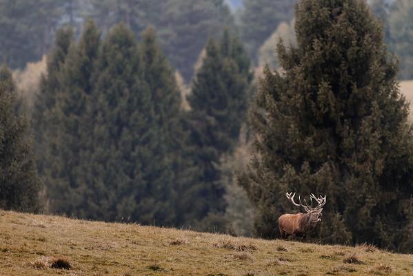 Samiec (byk) jelenia szlachetnego (Cervus elaphus) podczas rykowiska Bieszczady ©Mateusz Matysiak