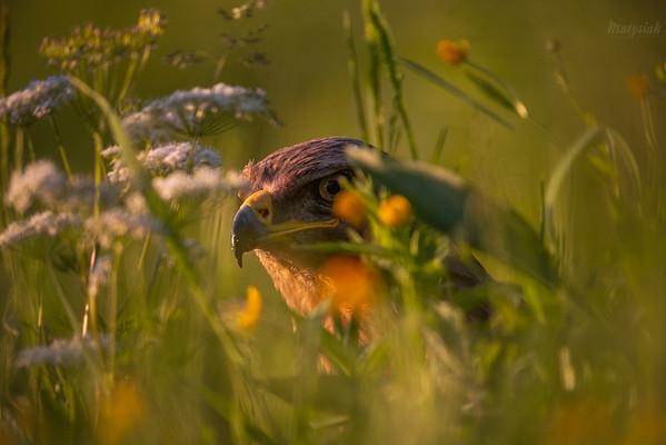Orlik krzykliwy (Clanga pomarina) na wczesnoletniej łące kwiatowej ©Mateusz Matysiak
