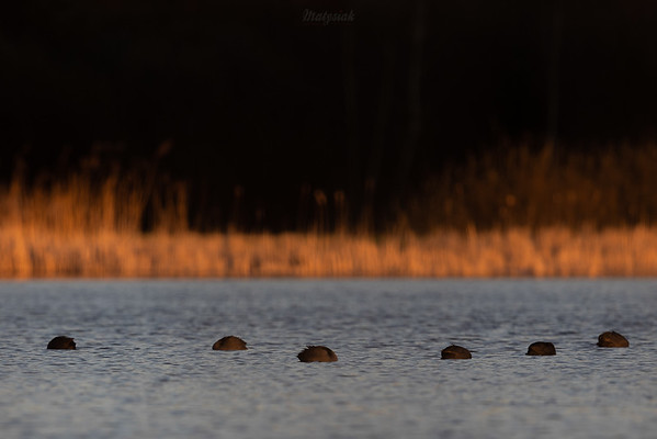 Stadko drzemiących łysek (Fulica atra) ©Mateusz Matysiak