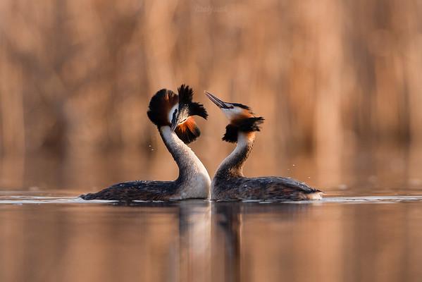 Para perkozów dwuczubych (Podiceps cristatus) podczas tańca tokowego ©Mateusz Matysiak