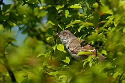 Jarzębatka (Sylvia nisoria) ©Mateusz Matysiak