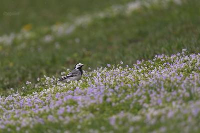 Pliszka siwa (Motacilla alba) na przetacznikowej murawie Pszczeliny, Bieszczady ©Mateusz Matysiak
