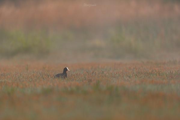 Łyska (Fulica atra) w zalanym turzycowisku ©Mateusz Matysiak