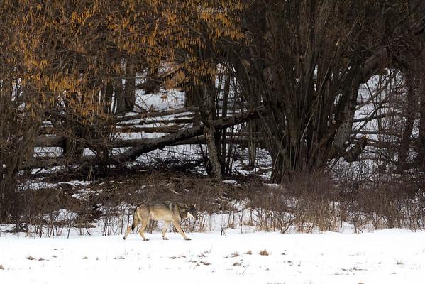 Wilk (Canis lupus) Bieszczady ©Mateusz Matysiak