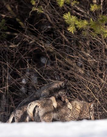 Zabawy pary wilków (Canis lupus) podczas cieczki, przygotowanie do kopulacji Bieszczady ©Mateusz Matysiak