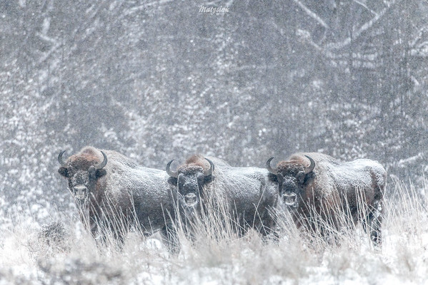 Byki żubrów (Bison bonasus) Puszcza Białowieska ©Mateusz Matysiak