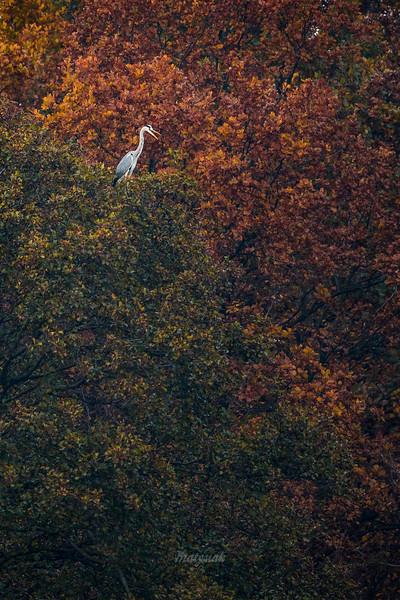 Czapla siwa (Ardea cinerea) ©Mateusz Matysiak