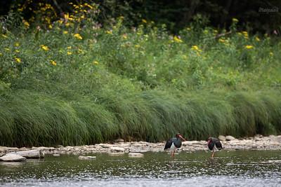 Para bocianów czarnych (Ciconia nigra) żerująca w nurcie górskiej rzeki dolina Sanu, Bieszczady ©Mateusz Matysiak