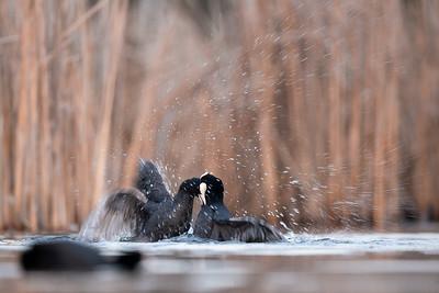 Wiosenny bój łysek (Fulica atra) o terytorium lęgowe ©Mateusz Matysiak