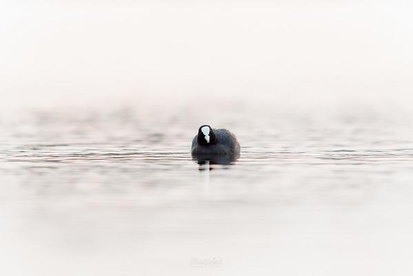 Łyska (Fulica atra) ©Mateusz Matysiak