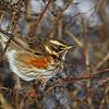 Ptaki ciernistych krzewów
