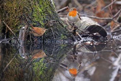 Strzyżyk i rudzik