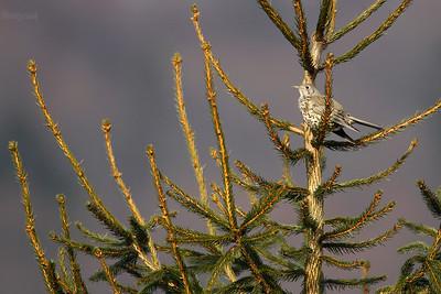 Paszkot (Turdus viscivorus) na świerku w terytorium gniazdowym ©Mateusz Matysiak