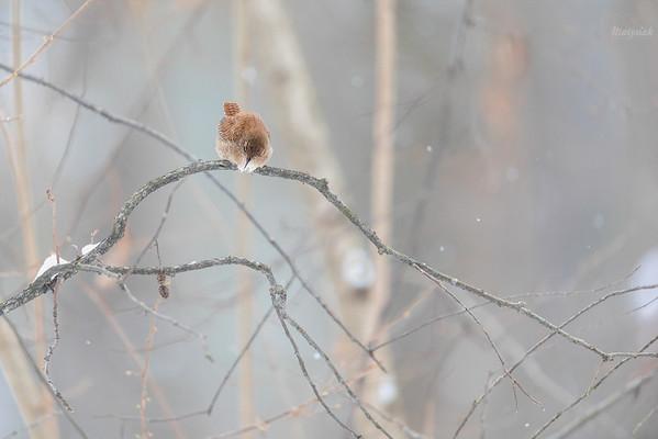 Strzyżyk (Troglodytes troglodytes) ©Mateusz Matysiak