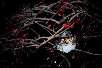 Zziębnięty kwiczoł (Turdus pilaris) pilnujący owocowej spiżarni w krzewach kaliny koralowej (Viburnum opulus) i róży dzikiej (Rosa canina) ©Mateusz Matysiak