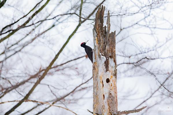 Dzięcioł czarny (Dryocopus martius) Bieszczady ©Mateusz Matysiak