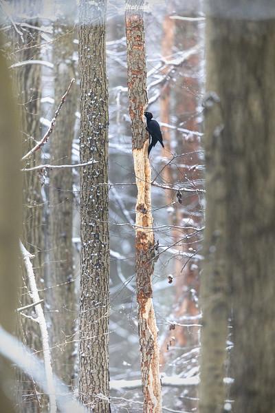 Dzięcioł czarny (Dryocopus martius) żerujący w starej olszynie ©Mateusz Matysiak