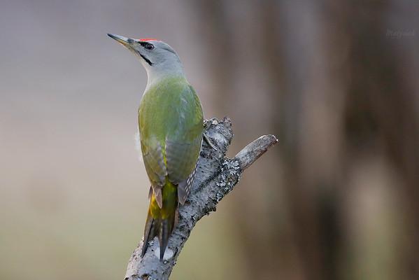 Dzięcioł zielonosiwy (Picus canus) ©Jarosław Matysiak