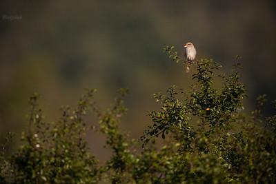Samica gąsiorka (Lanius collurio) czatująca na szczycie tarninowej czyżni ©Mateusz Matysiak