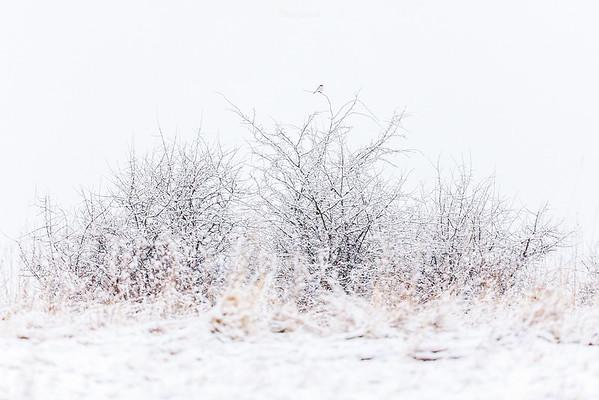 Srokosz (Lanius excubitor) czatujący na ofiary w śnieżnej scenerii Bieszczady ©Mateusz Matysiak