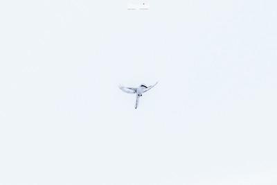 Zawisak srokosz - zimowy motylek