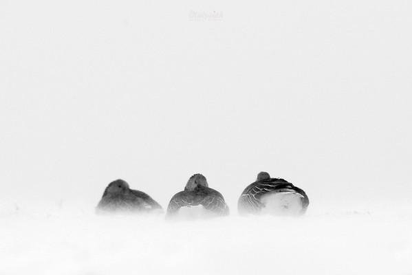Gęgawy (Anser anser) przeczekujące śnieżną zadymkę ©Mateusz Matysiak