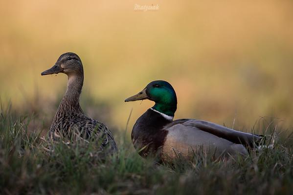 Para krzyżówek (Anas platyrhynchos) w okresie wiosennych godów ©Mateusz Matysiak