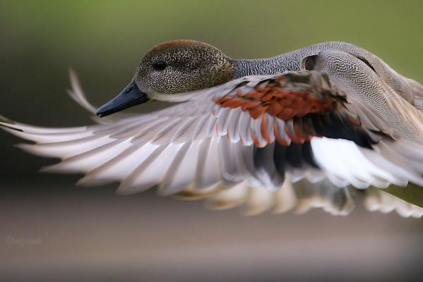 Samiec krakwy (Mareca strepera) w locie ©Mateusz Matysiak
