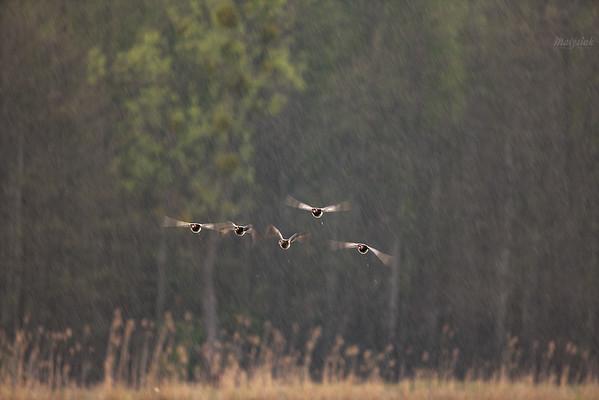 Lot tokowy głowienek (Aythya ferina) w deszczu ©Mateusz Matysiak