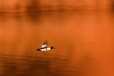Gągoł (Bucephala clangula) Startujący kaczor (samiec) ©Mateusz Matysiak