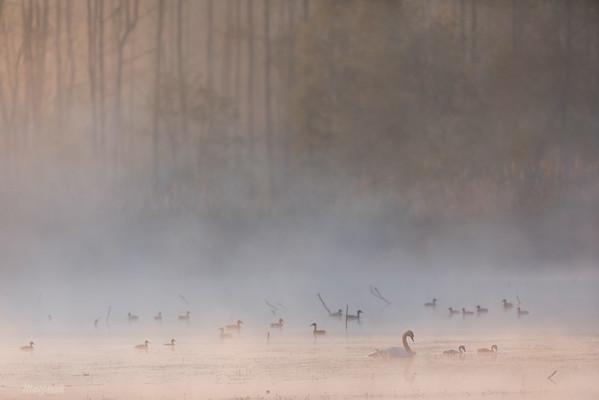 Poranna koncentracja kaczek i łabędzi Dolina Pisi Gągoliny, Ziemia Chełmońskiego ©Mateusz Matysiak