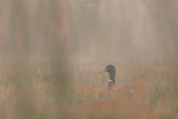 Samiec krzyżówki (Anas platyrhynchos) Dolina Pisi Gągoliny, Ziemia Chełmońskiego ©Mateusz Matysiak
