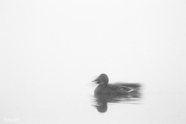 Samica kaczki krzyżówki (Anas platyrhynchos) Dolina Pisi Gągoliny, Ziemia Chełmóńskiego ©Agata Katafiasz-Matysiak