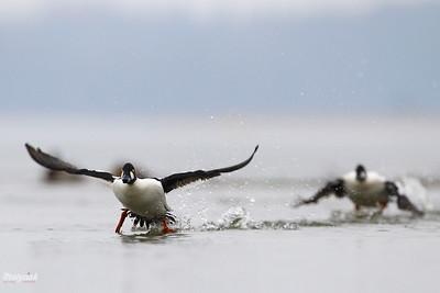 Gonitwy samców gągoła (Bucephala clangula) podczas toków ©Mateusz Matysiak