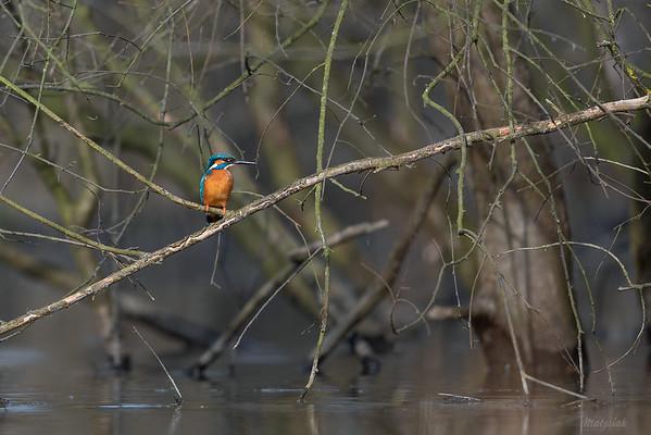 Zimorodek (Alcedo atthis) w zalanym lesie ©Mateusz Matysiak
