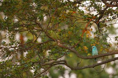 Kraska (Coracias garrulus) na olszy ©Mateusz Matysiak
