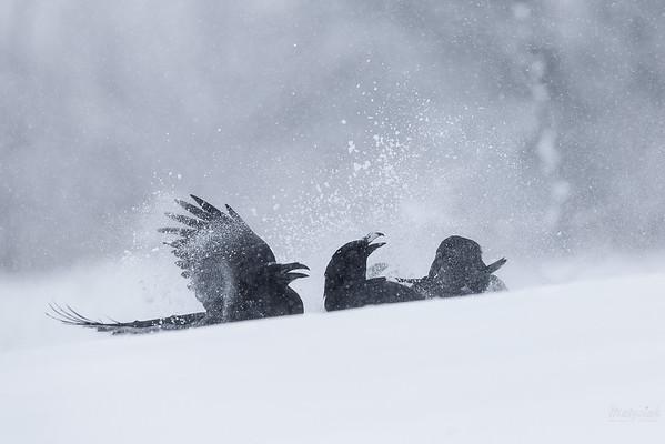 Sprzeczka kruków (Corvus corax) Bieszczady ©Mateusz Matysiak
