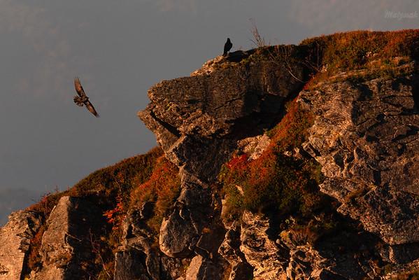 Kruki (Corvus corax) na wychodniach skalnych Bieszczady ©Mateusz Matysiak