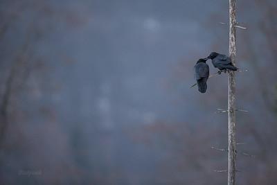 Para kruków (Corvus corax) w zalotach Bieszczady ©Mateusz Matysiak