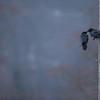 Para kruków (Corvus corax) w zalotach<br /> Bieszczady<br /> ©Mateusz Matysiak
