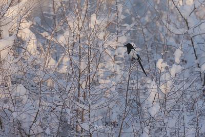 Śnieżynka w czarnym kapturze