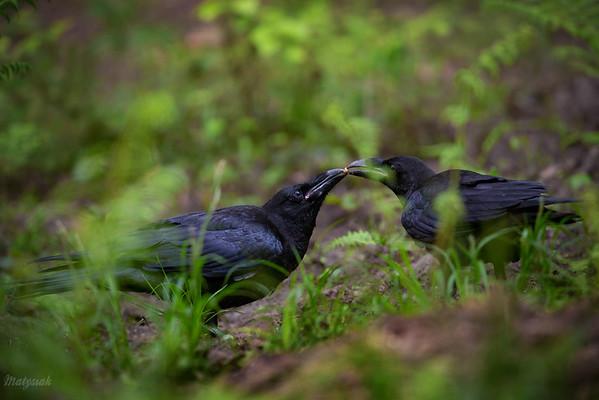 Rodzeństwo kruków (Corvus corax) podczas nauki przez zabawę Bieszczady ©Mateusz Matysiak